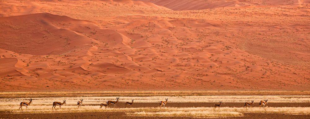 FlemmingBoJensen-Namibia---NAM029---Springboks-of-the-dunes